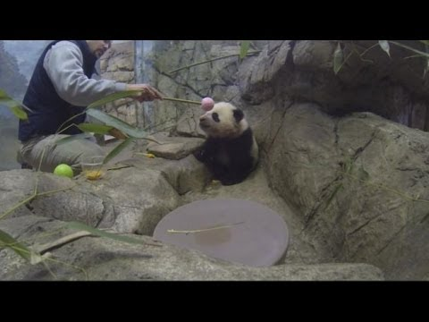 Bao Bao the Baby Panda: Get an Exclusive Look Inside Panda Cub's Inner Sanctum