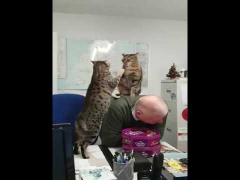 Egyptian Mau cats play fighting