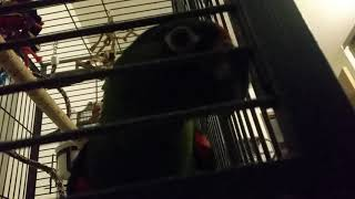 parrot-farting