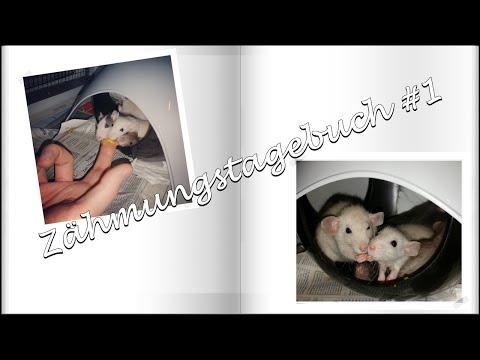 Ratten - Zähmungstagebuch #1 || Hamster, Rennmaus & Co zähmen!