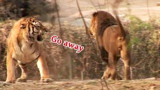 虎王日记4,虎王16强和黑鬃狮王的终极争霸战 Tiger VS Lion,Kings war