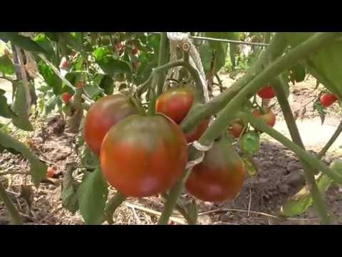 Самые крупные сорта томатов. Сад и огород выпуск 145