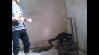 VIdeo cara melatih musang cepat jinak atau menurut kepada majikan
