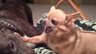 Pitbull vs Killer Chihuahua