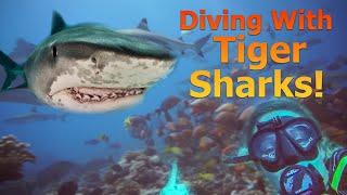 Surviving a TIGER SHARK! - Sailing Doodles Episode 87