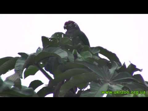 Speckle faced parrot - Pionus tumultuosus - Сливоголовый красногузый попугай