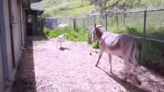AMIS POUR LA VIE / Une chèvre et un âne inséparables