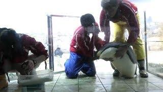 OCT 2018 Emperor penguin 生後22日 冒頭で飼育員さんが餌をあげる際赤...