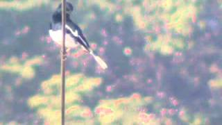 male oriental magpie robin sings his heart out