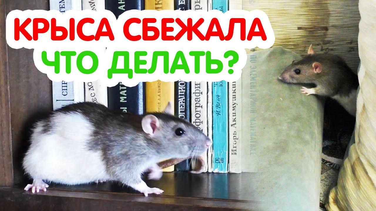 Крыса сбежала из клетки! Как найти и как поймать крысу