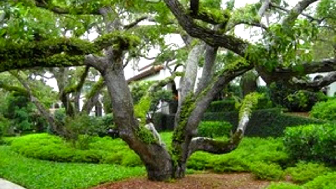Plant A Live Oak Tree Quercus Va Best Shade Fl Tx