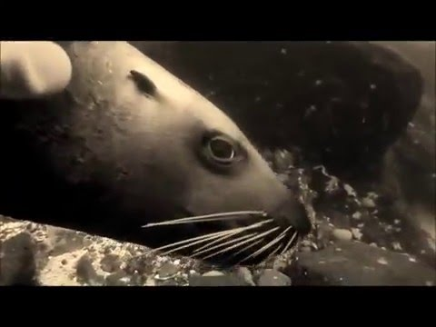 The Silent World of  Steller Sea Lions