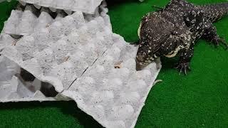 파충류 행동풍부화 테구도마뱀 (Reptile enric…