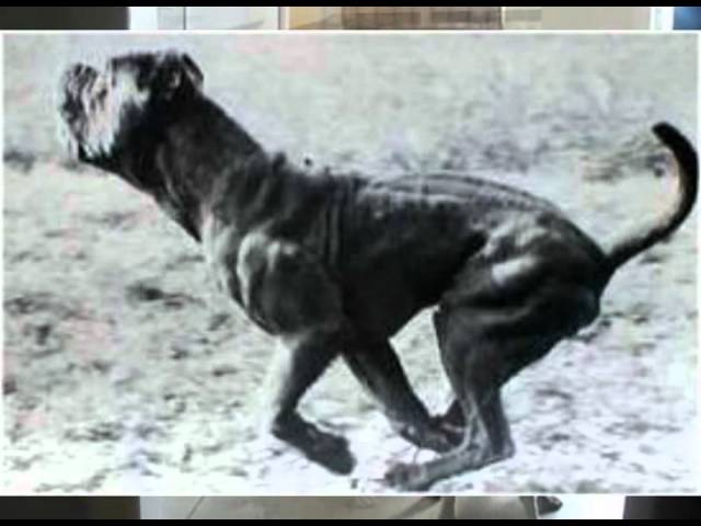 The History of Molosser Dogs Travel Video