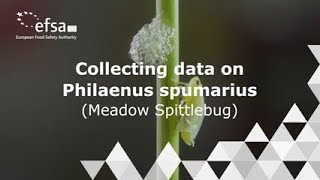Xylella Tutorial | How to collect data on Philaenus spumarius (spittlebug)