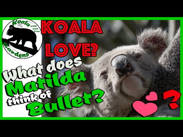 Koala 🐨 dating 💕 101 - what does Matilda think about Bullet's amorous advances?