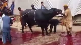 Dadi House Gulshan 2016 Qurbani - Buffalo Qurbani
