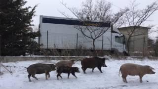 Зимний Бургас, Йорданов День и млекопитающее Лама по имени Ла...