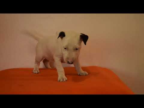 Girly - Miniature Bull Terrier Puppy for sale