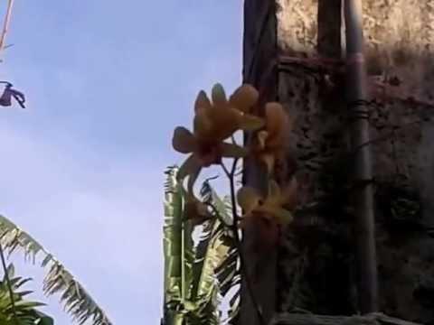Yellow Orchids plantation-Bali