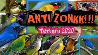 Suara pikat burung bandel yang susah mendekat/turun anti zonk | terbaru 2020