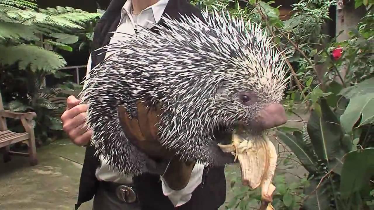 Holding A Porcupine Cincinnati Zoo Youtube