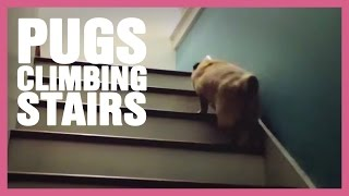 Jump Jump - Pug Climbing Stairs Edition