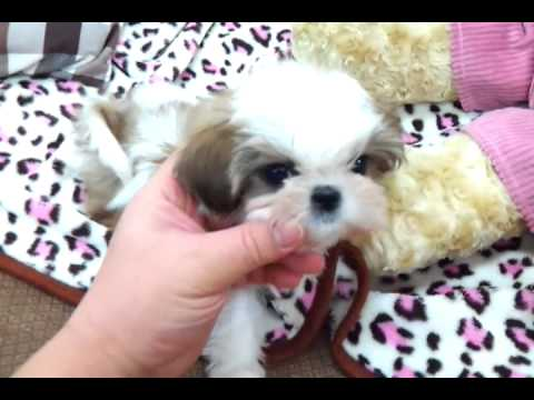 teacup shih tzu for sale micro teacup shih tzu puppies for sale youtube 4091