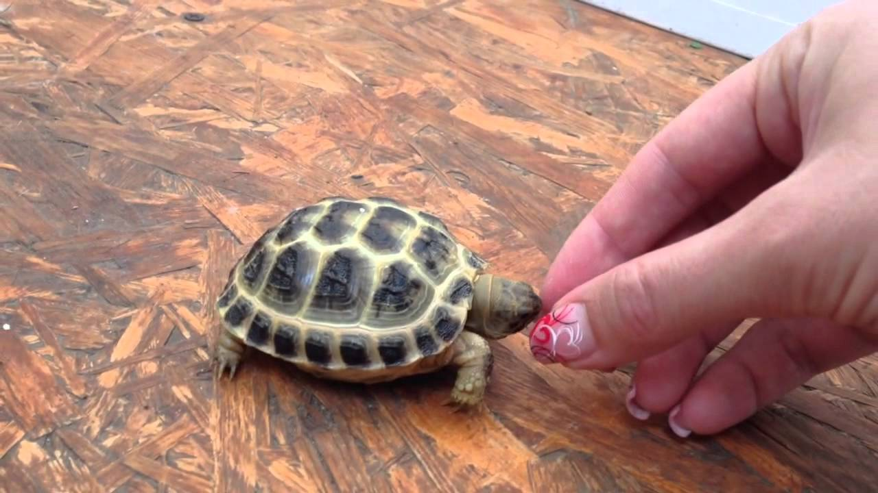 Little Angry Baby Russian Tortoise Youtube
