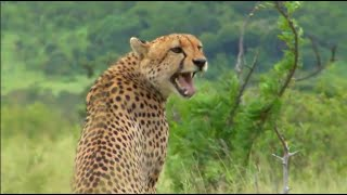 What sound does a cheetah make?