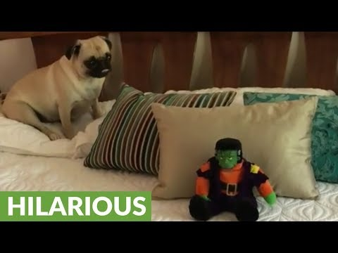 Pug totally entertained by singing toy