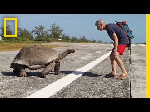 Explorer Interrupts Mating Tortoises, Slowest Chase Ever Ensues   National Geographic