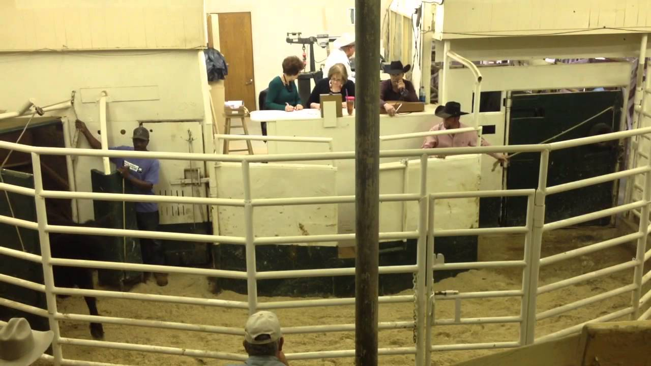 Auctions In Ohio >> Texas Cattle Auction - YouTube