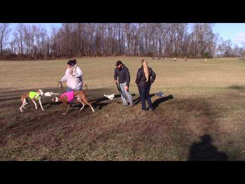 2019 AKC NLCC - Ibizan Hound Best of Breed in Event