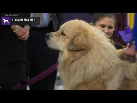 Tibetan Mastiff | Breed Judging 2020