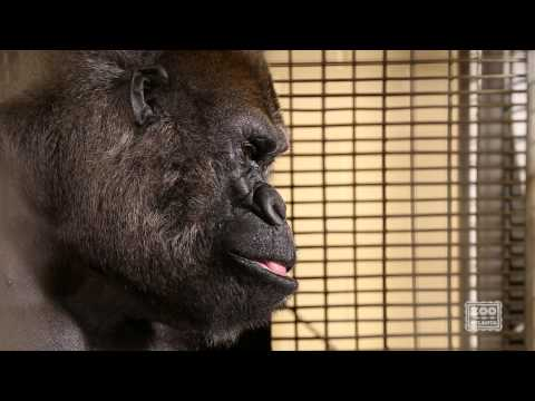 Watch Ozzie the Gorilla Interact on a Touchscreen Computer