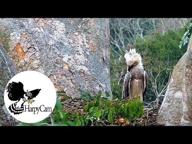 Harpy Eagle Chick What are those flying things around? - HarpyCam #23