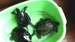 Европейская болотная черепаха - русский реликтовый эндемик.