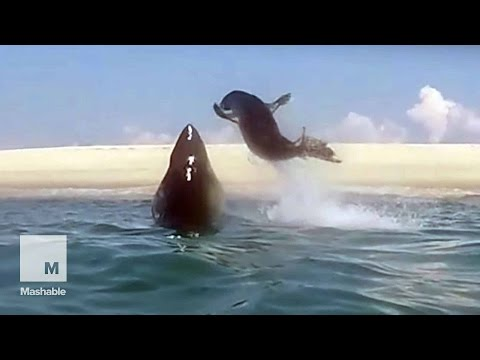 Fearless Seal Narrowly Escapes Mid-Air Shark Attack | Mashable News