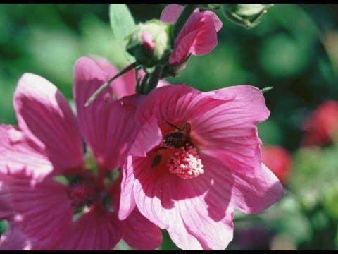 Semer la rose tr mi re youtube - Planter des roses tremieres ...