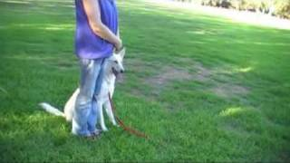 White German Shepherd Tala Obedience Training