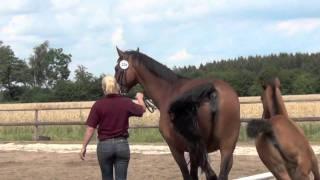 2011 Dithmarschen Holsteiner Foals 2