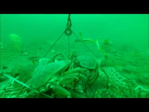 Amazing Underwater Footage KING CRAB Trap Go Pro    King Crab And Dungeness Battle