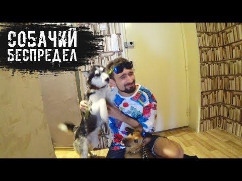 Помогаем другу с выгулом собак, чихуа, хаски и басенджииз YouTube · С высокой четкостью · Длительность: 13 мин16 с  · Просмотры: более 38000 · отправлено: 13.08.2017 · кем отправлено: Виталий Пиганов