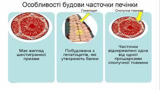 Анатомія великих травних залоз