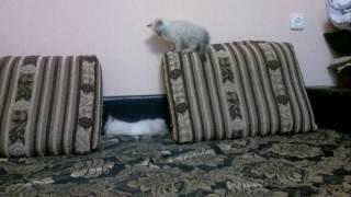 Невская маскарадная кошка-котята