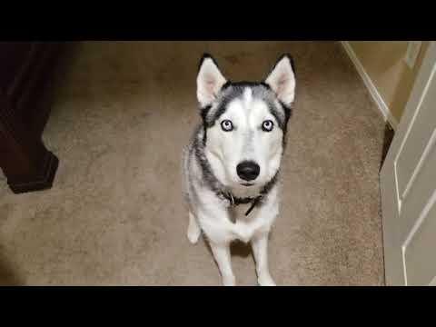Siberian Husky Freya Talking Morning Cuss Out