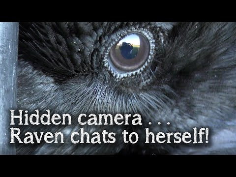 Fable The Raven | Hidden Camera | Raven Talking And Singing To Herself