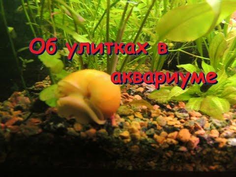 Улитки в аквариуме. Хорошо или плохо?