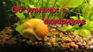 видео Сколько живут улитки в аквариуме?
